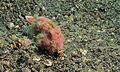 Painted Frogfish (Antennarius pictus) (8457360035).jpg