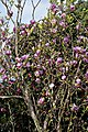 Pale purple magnolia at RHS Garden Hyde Hall, Essex, England.jpg