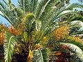 Palm tree. Пальма - panoramio.jpg