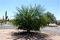Palo Verde Tree (3384435818).jpg