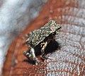 Panama frog (9423941962).jpg