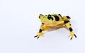 Panamanian Golden Frog lightbox 4.jpg