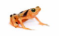 Panamanian Golden frog Lightbox 1.jpg