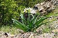 Pancratium illyricum JPG1.jpg