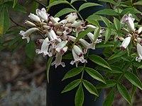 Pandorea pandorana subsp.pandorana