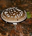 Panthercap Mushroom (Amanita pantherina) (34970179530).jpg
