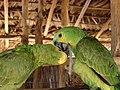 Papagaios comendo mandioca.jpg