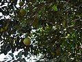 Papannasa (Marathi- पपन्नस) (6782551280).jpg