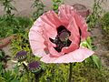 Papaver somniferum 01.JPG