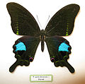 Papilio paris decorosa.JPG