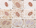 Parasite160010-fig2 - Lectins in Paralichthys olivaceus infected by Kudoa septempunctata - Lectin histochemistry.png