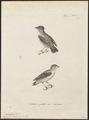 Pardalotus punctatus - 1700-1880 - Print - Iconographia Zoologica - Special Collections University of Amsterdam - UBA01 IZ16600327.tif