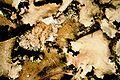 Parmotrema crinitum-1.jpg