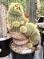 Parodia schumanniana - University of California Botanical Garden - DSC08843.JPG