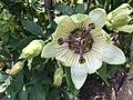 Passiflora 'White Mirror'.jpg