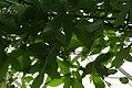 Passiflora caerulea 1zz.jpg