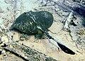 Pastinachus sephen-mar rojo.jpg