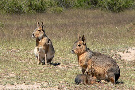Two Patagonian maras with young, an example of a monogamous and communal nesting species Patagonian Maras.jpg