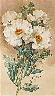 <i>Romneya coulteri</i> Species of flowering plant in the poppy family Papaveraceae