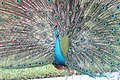 Pavo cristatus (Indian Peafowl) 24.jpg