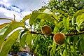 Peach fruit.jpg