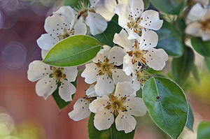 Pear blossoms, California, unknown variety
