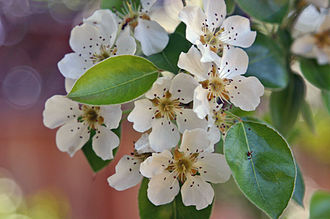 Pear - Pear blossoms
