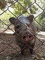 Pecarí en el Zoofari, Cuernavaca, Morelos. su nariz.jpg