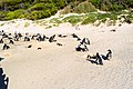 Penguins at Boulders Beach, Cape Town (10).jpg