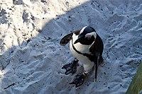 Penguins at Boulders Beach, Cape Town (13).jpg