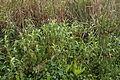 Persicaria lapathifolia plant3 NC (17168305886).jpg