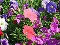 Petunia (many-coloured) 01.JPG