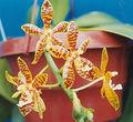 Phalaenopsis-Mambo.jpg