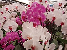 Phalaenopsis cultivars red and white.jpg