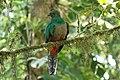Pharomachrus mocinno Monteverde 13.jpg