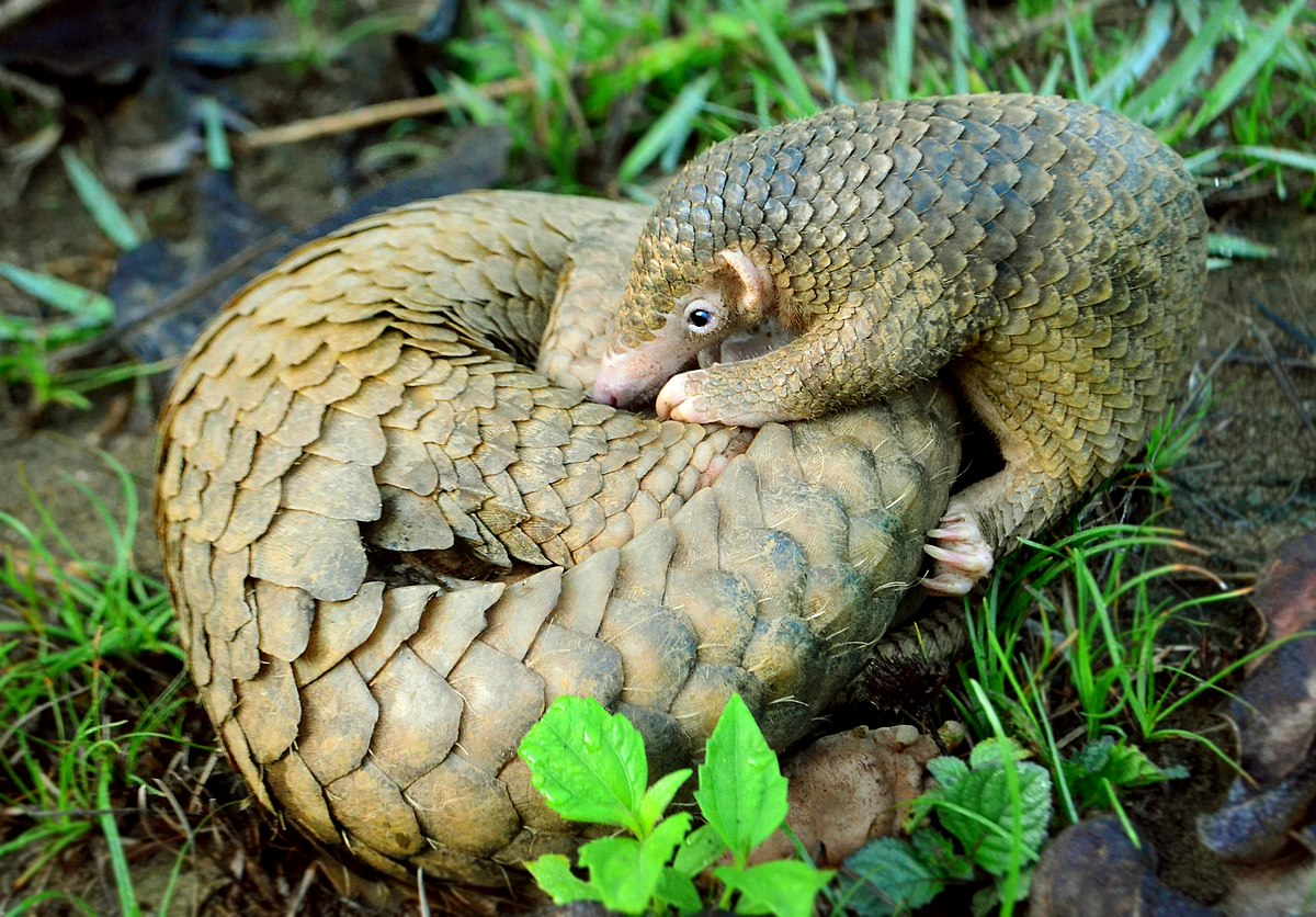 1200px-Philippine_Pangolin_Curled-up_by_