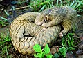 Philippine Pangolin Curled-up by Gregg Yan.jpg