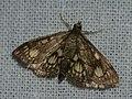 Phlyctaenia stachydalis - Огнёвка чистецовая (40843250411).jpg