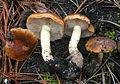 Pholiota brunnescens 293942.jpg