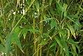Phyllostachys dulcis 0zz.jpg