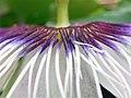 Pièces florales de Passiflora edulis 02.jpg