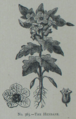 Picture Natural History - No 363 - The Henbane.png