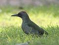 Picus viridis sharpei 007.jpg