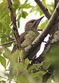 Picus viridis sharpei 101.jpg