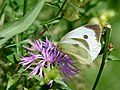 Pieris brassicae auf Centaurea jacea 03.jpg