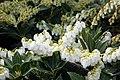 Pieris japonica Prelude 4zz.jpg