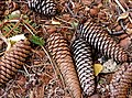 Pine cones on ground.jpg
