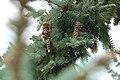 Pinecones on a Branch (Unsplash).jpg