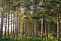 Pines on the western edge of Foxbury Plantation - geograph.org.uk - 442401.jpg