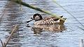 Pink-eared Duck (Malacorhynchus membranaceus) (31168113351).jpg